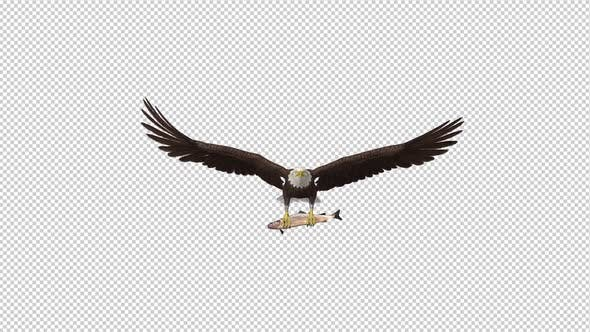 Thumbnail for Bald Eagle with Salmon Fish - 4K Flying Loop - Front View