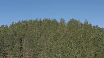 Coniferous forest tree tops under blue sky 4K drone video