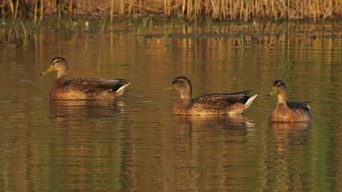 group of duck mallard female