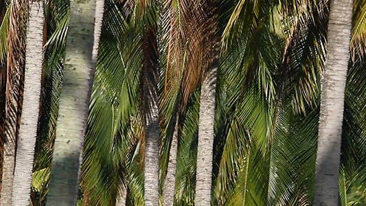 Thumbnail for Coconut Plantation 1