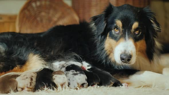 Thumbnail for The Australian Shepherd Feeds Its Puppies. Angrily Looks Toward the Camera