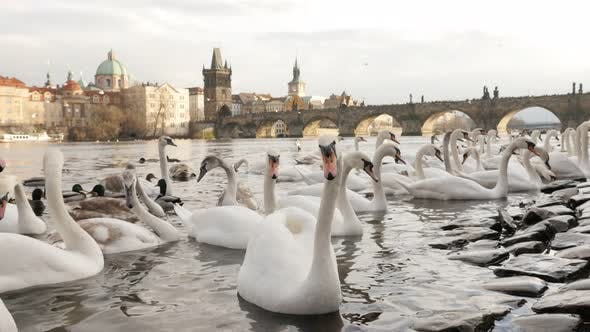 Thumbnail for Swans bevy  and other birds on Vltava river banks in capital of Czechia 3840X2160 UHD footage - Whit