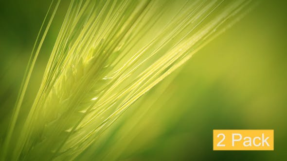 Thumbnail for Green Wheat - 2 Pack