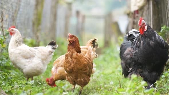 Chicken feeding on traditional rural barnyard. Hens on barn yard in eco farm. Free range poultry