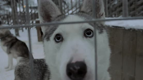 Thumbnail for Husky dog looking to the camera with its beautiful eyes