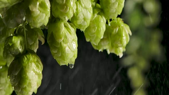 Drops of Water Falling From Hops or Humulus. Black Background. Slow Motion.