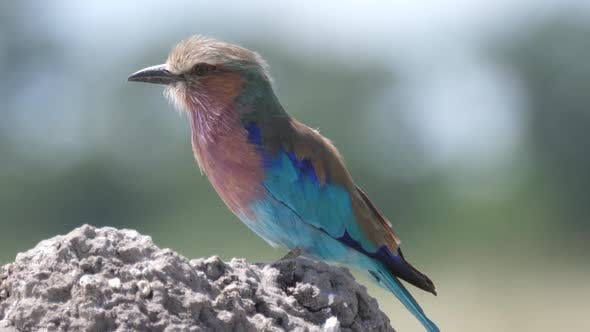 Thumbnail for Close up from a Lilac-breasted roller on a rock
