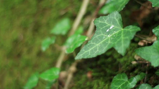 Ivy Vine On Mossy Boulder