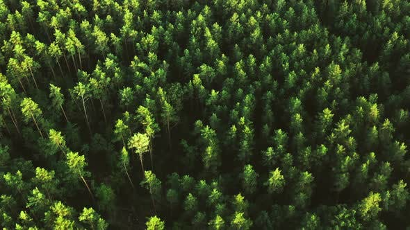 Thumbnail for Beautiful Forest Aerial View Pine Trees Green