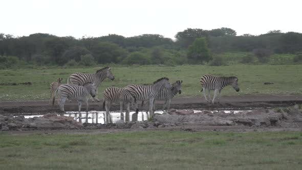 Thumbnail for Herd of zebras around a waterhole