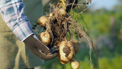 Farmer's Hands in Gloves Are Holding Freshly Dug Up Potato Tubers