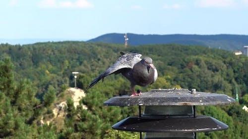 Pigeons 8