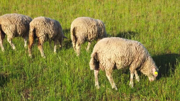 Thumbnail for Sheep grazing in a meadow