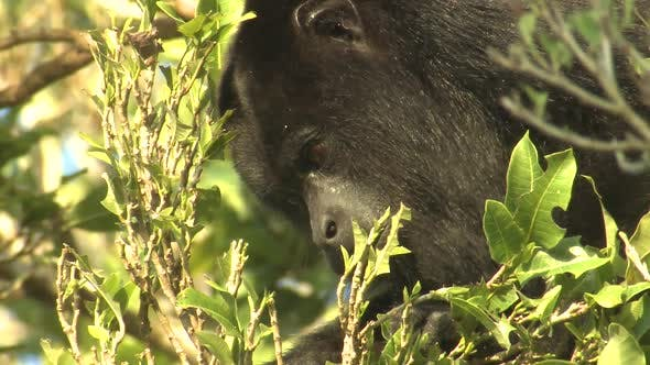 Thumbnail for Howler Monkey Adult Lone Eating Feeding Eating Leaves in Belize