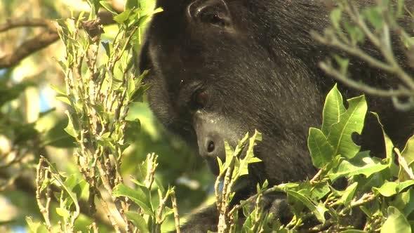 Howler Monkey Adult Lone Eating Feeding Eating Leaves in Belize