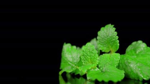 Fresh Aromatic Mint Slowly Rotates.