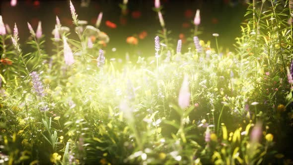 Thumbnail for Wild Flowers in the Field