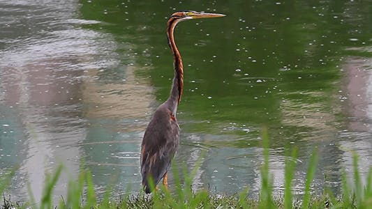 Thumbnail for Purple Heron (Ardea purpurea)