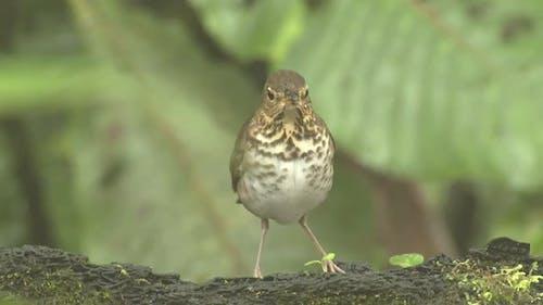 Swainson's Thrush Eating in South American Winter Habitat Jungle