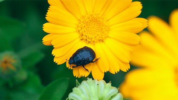 Thumbnail for Black beetle.