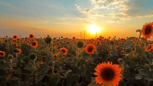 Thumbnail for Flowering Sunflowers 1