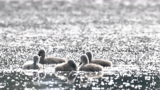 Thumbnail for Wild bird mute swan chicken in spring on pond