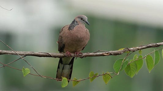 Thumbnail for Spotted Dove (Spilopelia Chinensis) 2
