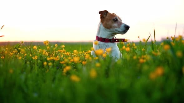 Cover Image for Jack Russel Terrier on Flowers Meadow