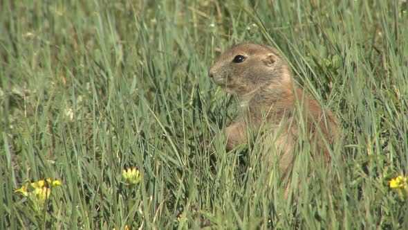 Thumbnail for Black-tailed Prairie Dog Adult Lone Eating Feeding in Summer Green Grass