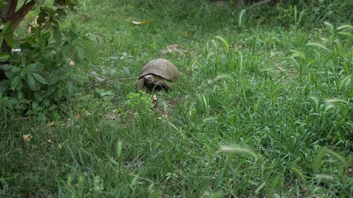 Turtle Is Moving Along the Green Grass