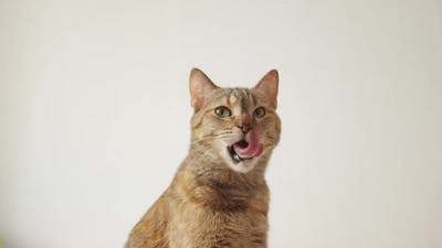 Domestic Cat Looks at the Camera and Yawns