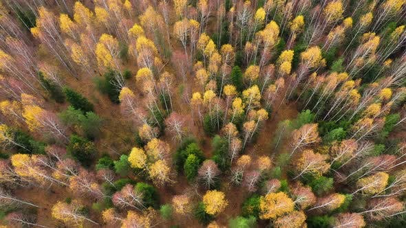 Tops of Trees with Yellow Foliage