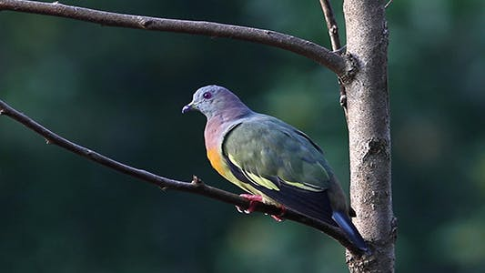 Thumbnail for Pink Necked Green Pigeon 2