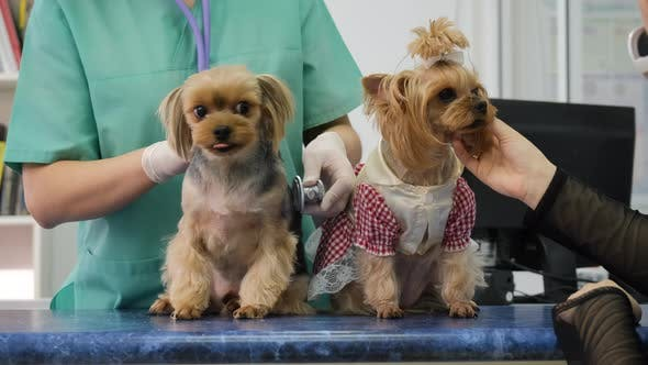 Yorkshire Terriers on Examination at Veterinary