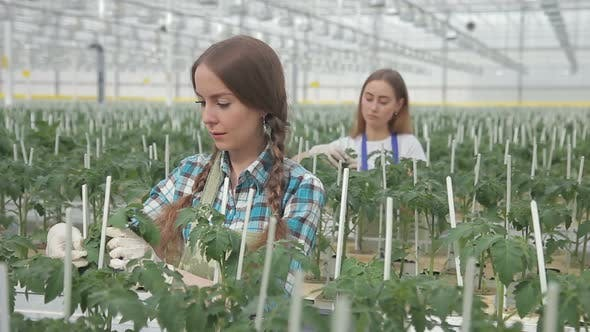 Thumbnail for Two Employees Tie Green Plants in Greenhouse on Hydroponics Indoors