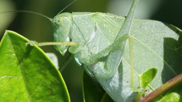 Thumbnail for Katydid Macro on leaf