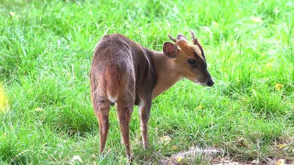 Thumbnail for Little gazelle