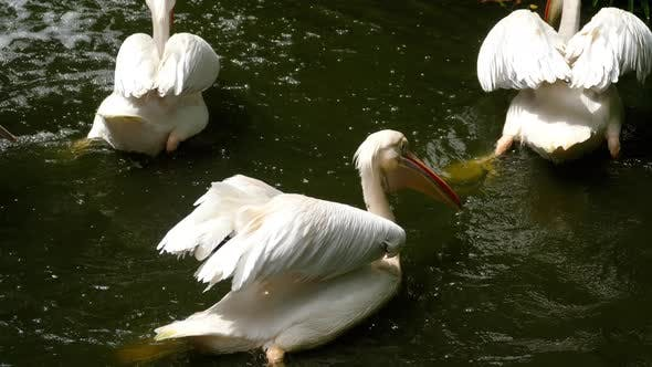 Thumbnail for Eastern White Pelicans