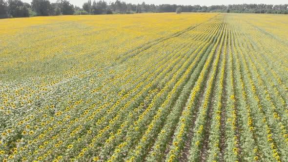 Blooming sunflowers in sun. Sunflower fields.