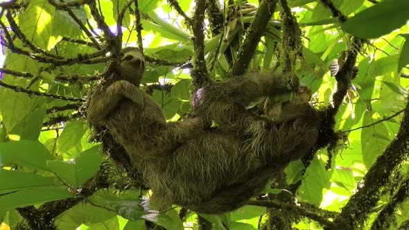 Thumbnail for Female Sloth with its Baby Stretching and Eating on a Branch