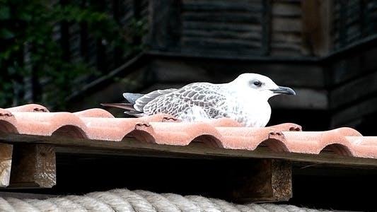 Thumbnail for Seagull 2
