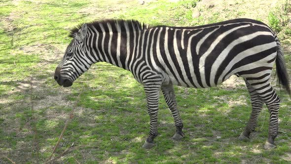 Thumbnail for Zebra Adult Alone Eating Grazing