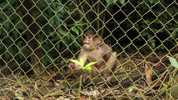 Thumbnail for Capuchin monkey cebus albifrons sitting behind a fence of a cage