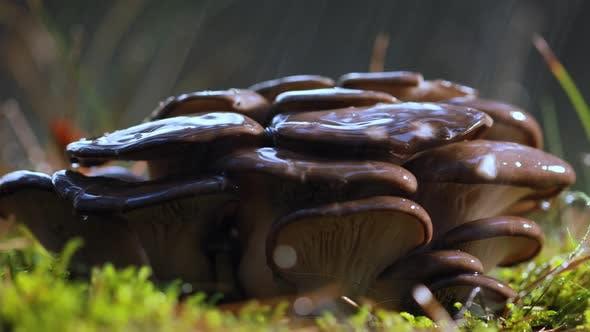 Thumbnail for Pleurotus Mushroom In a Sunny Forest in the Rain.