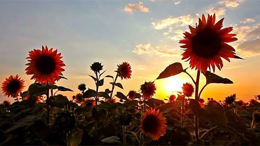 Thumbnail for Flowering Sunflowers 3