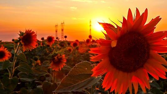 Flowering Sunflowers 8