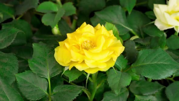 Thumbnail for Time Lapse of Opening Yellow Rose Flower