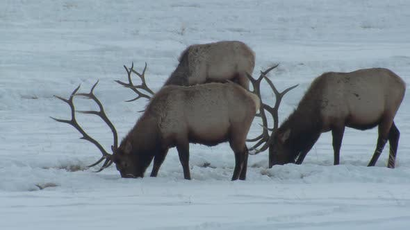 Thumbnail for Elk Bull Adult Several Eating Grazing Pawing Scraping in Winter Trophy Antlers
