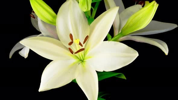 Thumbnail for Time Lapse of Beautiful White Lily Flower Blossoms