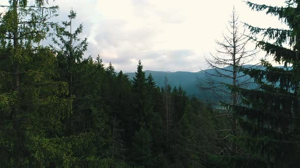 Tall Trees in the Mountains